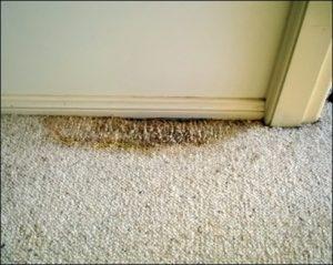 Carpet rot from a shower leak